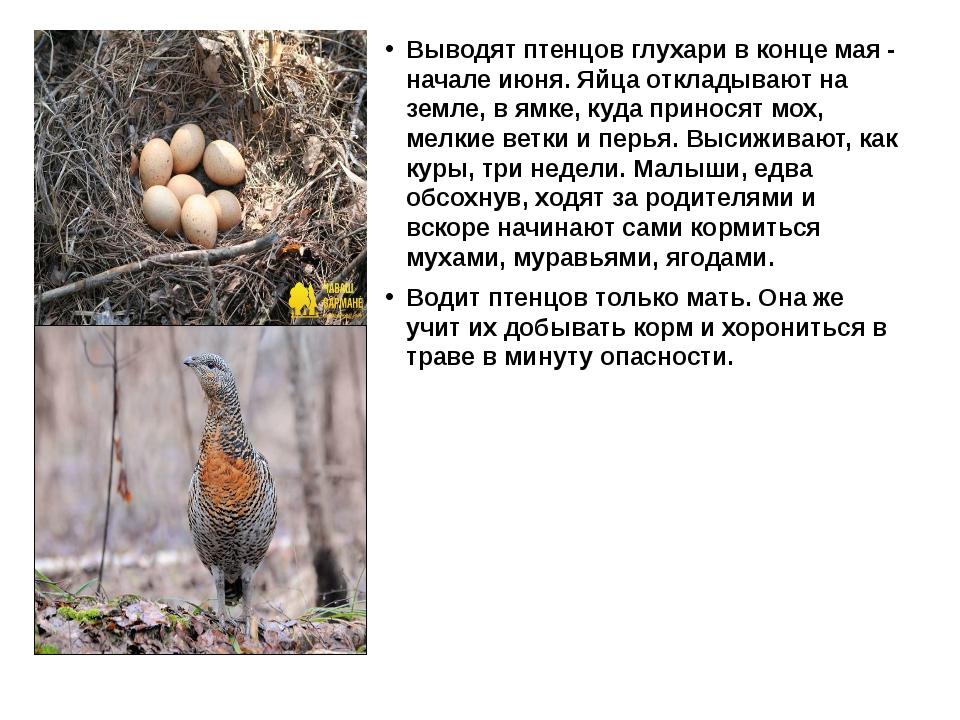 Выводят птенцов глухари в конце мая - начале июня. Яйца откладывают на земле...