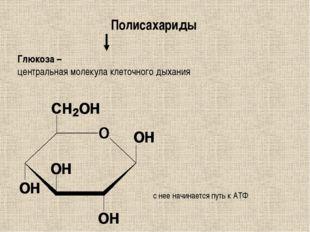 Полисахариды Глюкоза – центральная молекула клеточного дыхания с нее начинает