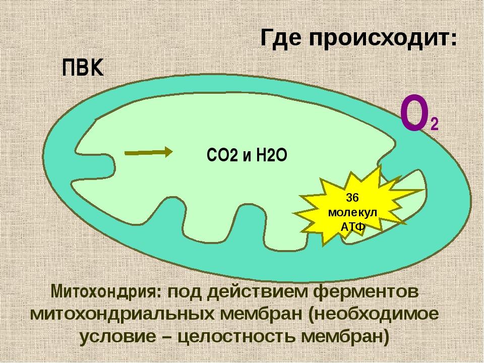 Где происходит: ПВК СО2 и Н2О О2 36 молекул АТФ Митохондрия: под действием фе...