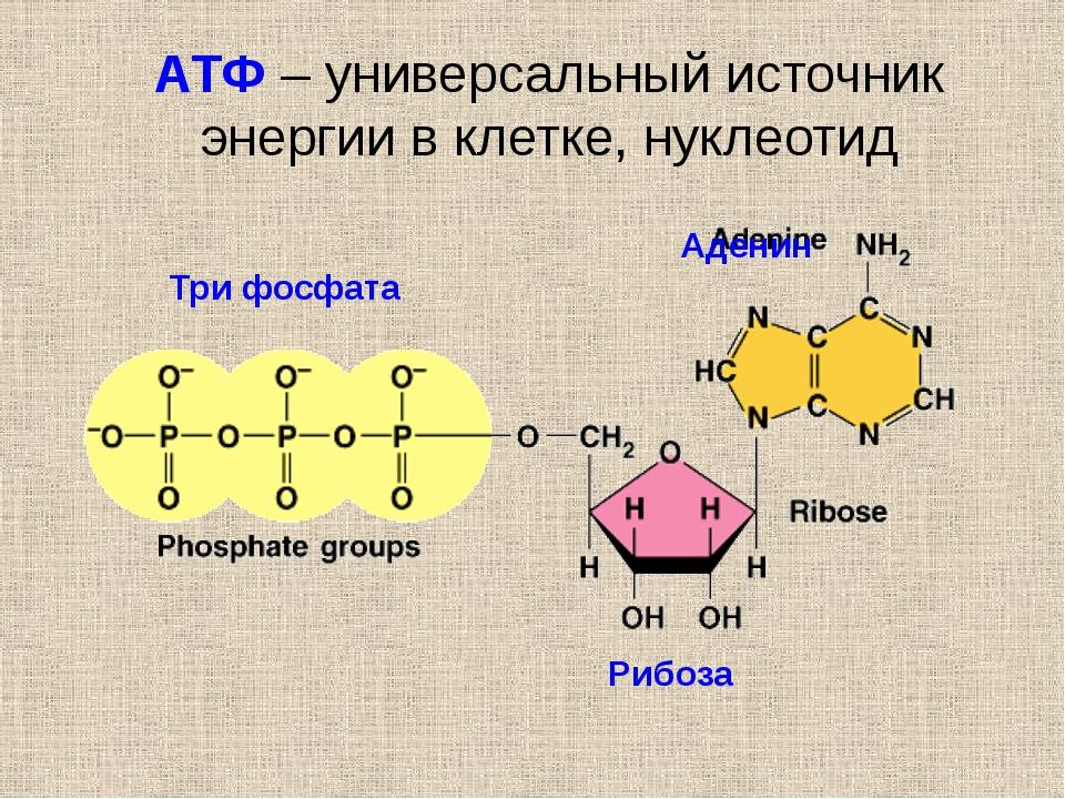 АТФ – универсальный источник энергии в клетке, нуклеотид Аденин Рибоза Три ф...