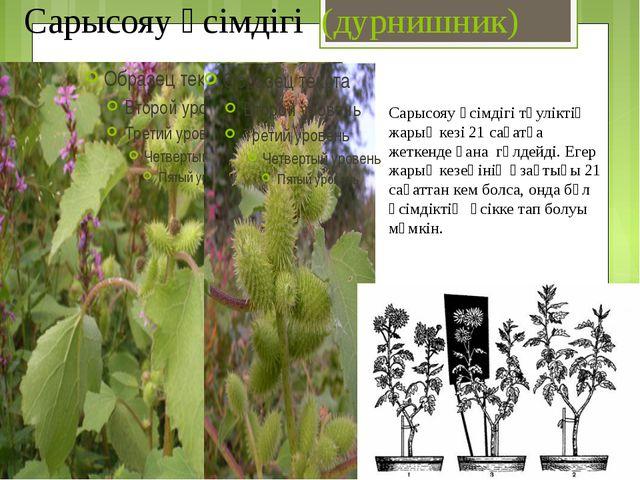 Сарысояу өсімдігі (дурнишник) Сарысояу өсімдігі тәуліктің жарық кезі 21 сағат...
