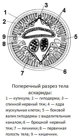 http://titorovanatali.ru/images/stories/education/zoo/askarida.jpg
