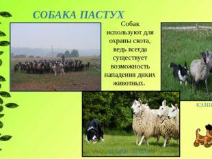 СОБАКА ПАСТУХ КЭЛПИ БОРДЕР - КОЛЛИ Собак используют для охраны скота, ведь вс