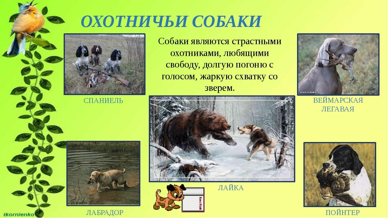 ОХОТНИЧЬИ СОБАКИ СПАНИЕЛЬ ПОЙНТЕР ЛАБРАДОР ВЕЙМАРСКАЯ ЛЕГАВАЯ Собаки являются...
