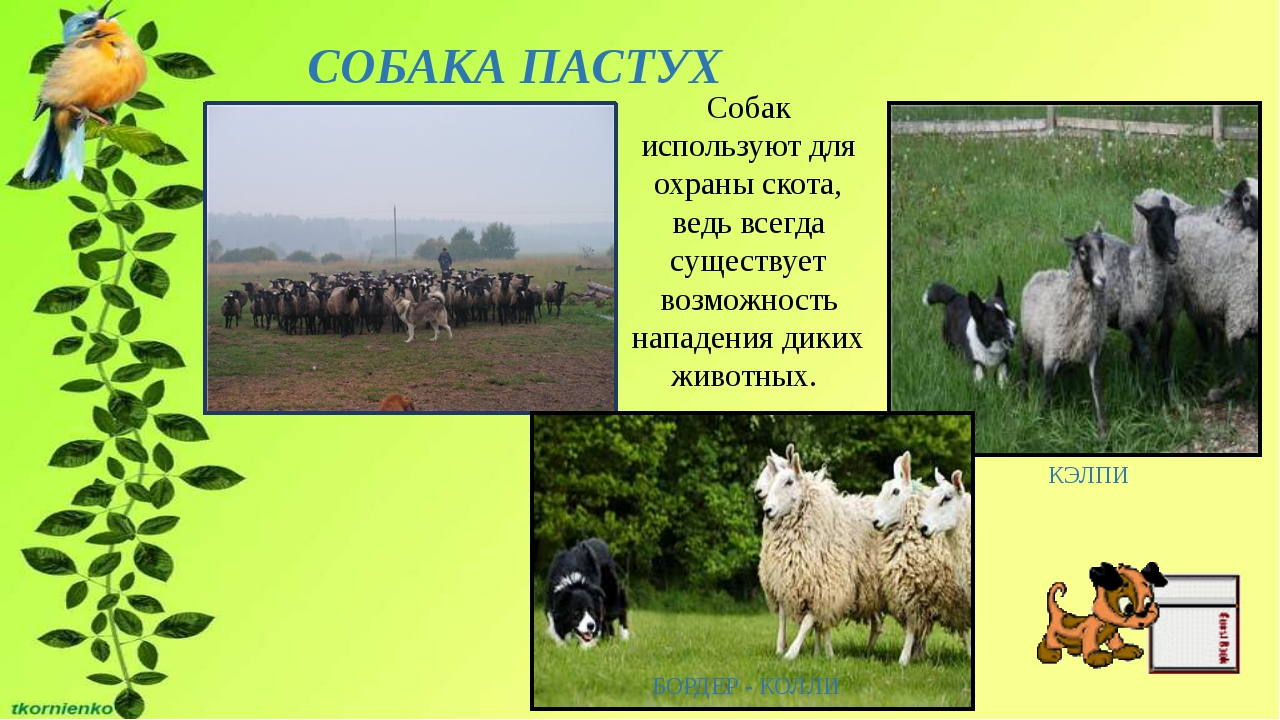СОБАКА ПАСТУХ КЭЛПИ БОРДЕР - КОЛЛИ Собак используют для охраны скота, ведь вс...