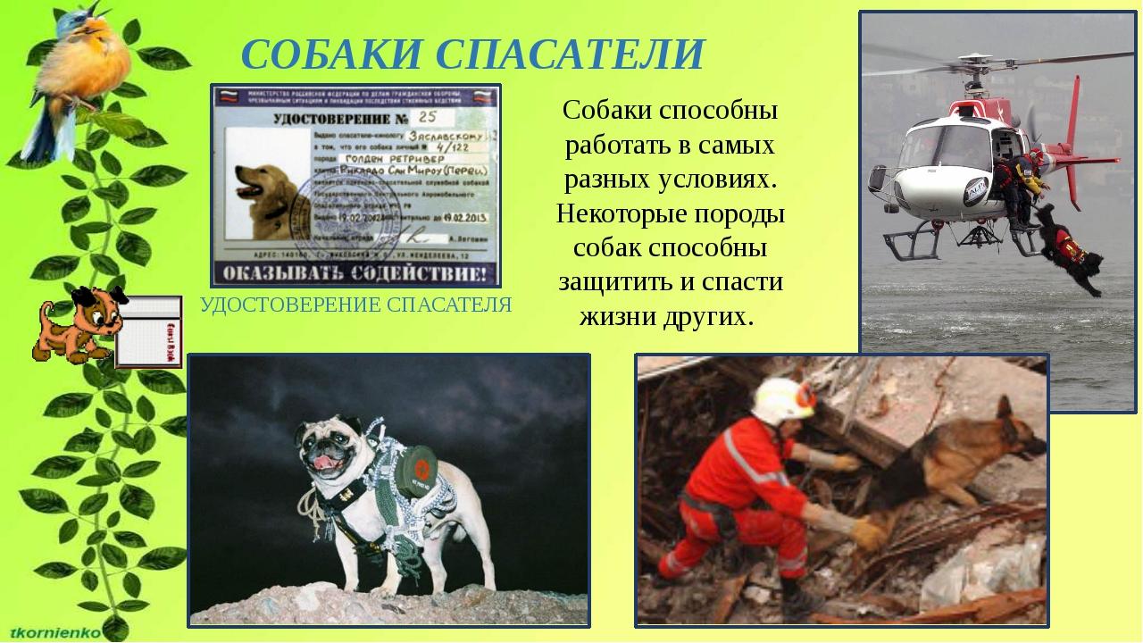 СОБАКИ СПАСАТЕЛИ УДОСТОВЕРЕНИЕ СПАСАТЕЛЯ Собаки способны работать в самых раз...
