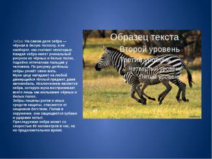 Зебра: На самом деле зебра — чёрная в белую полоску, а не наоборот, как счит