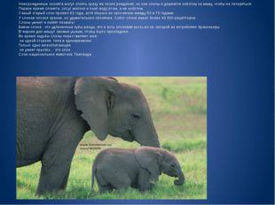 Новорожденные слонята могут стоять сразу же после рождения, но они слепы и д