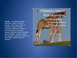Жираф – это самое высокое животное, любит растения, акации, у него язык и гу