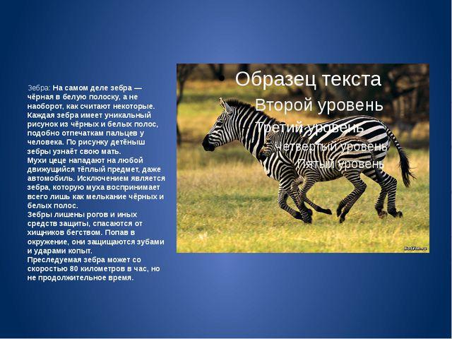Зебра: На самом деле зебра — чёрная в белую полоску, а не наоборот, как счит...