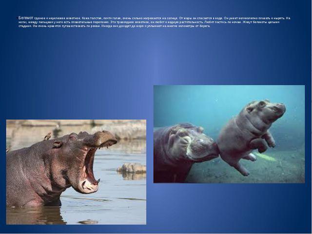 Бегемот грузное и неуклюжее животное. Кожа толстая, почти голая, очень сильно...