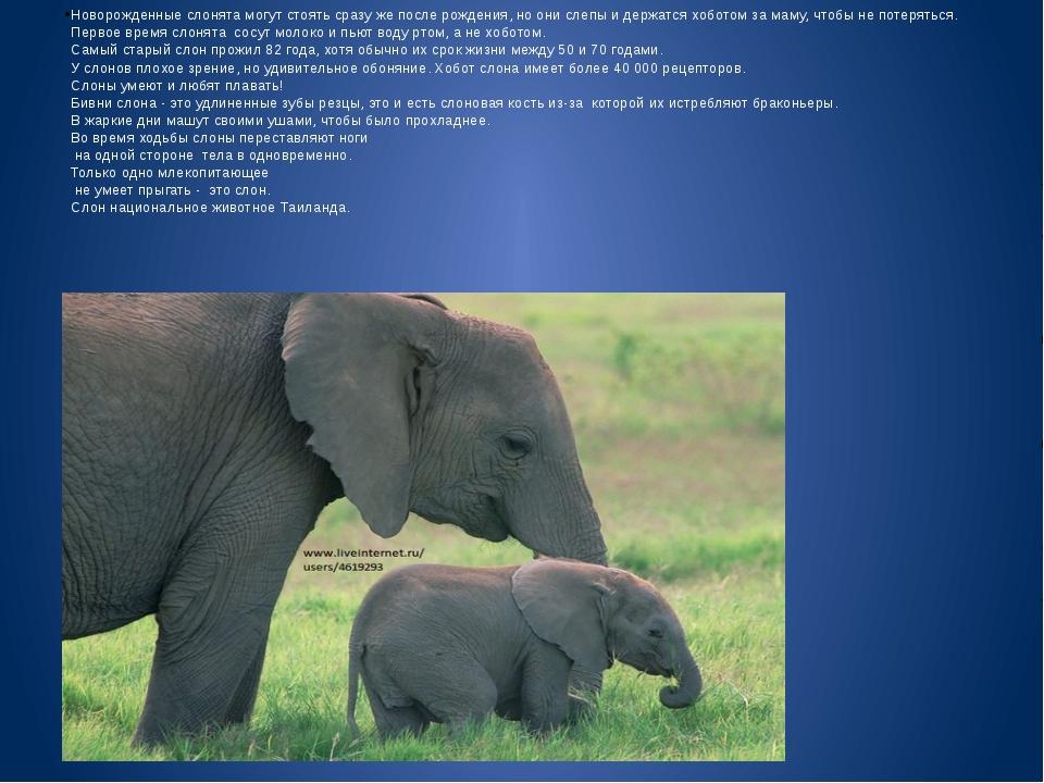 Новорожденные слонята могут стоять сразу же после рождения, но они слепы и д...