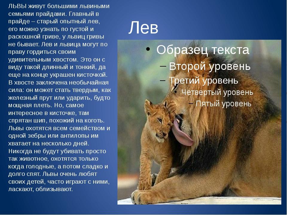 Лев ЛЬВЫ живут большими львиными семьями прайдами. Главный в прайде – старый...