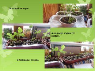 Вот какой он вырос А это растут огурцы (10 ноября). И помидоры, и перец.