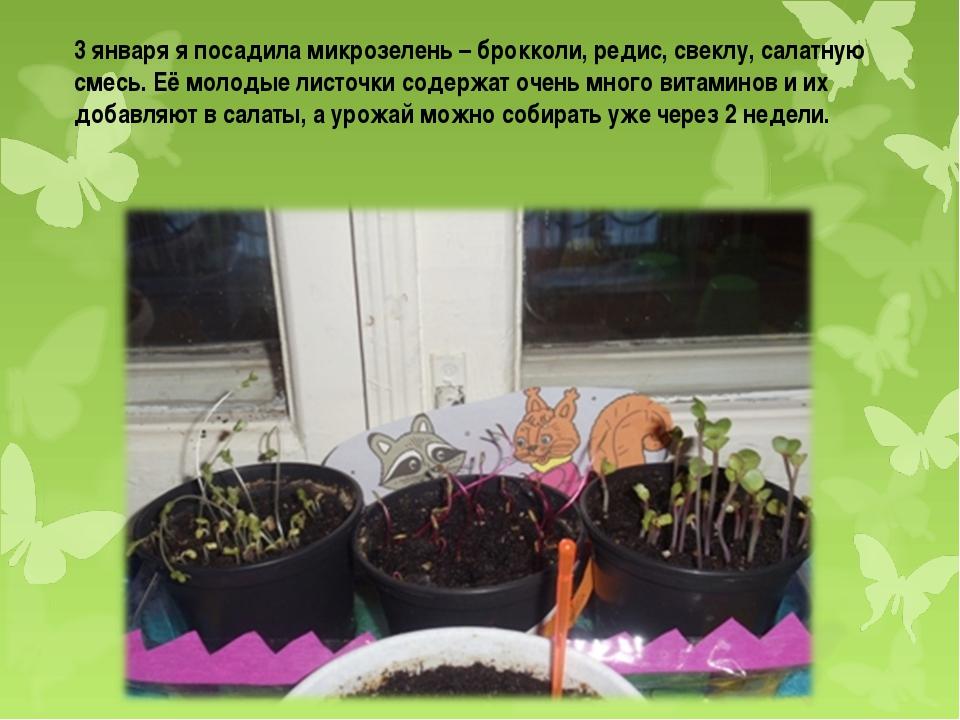 3 января я посадила микрозелень – брокколи, редис, свеклу, салатную смесь. Её...