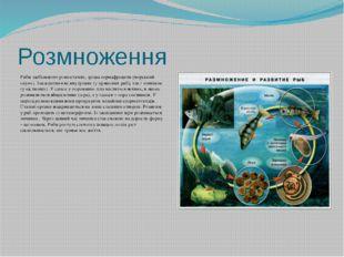 Розмноження Риби здебільшого різностатеві, зрідка гермафродити (морський окун