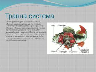 Травна система Органи травлення у риб розпочинаються ротом, озброєним щелепам