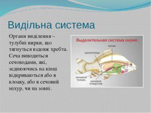 Видільна система Органи виділення – тулубні нирки, що тягнуться вздовж хребта