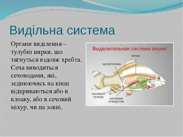 Видільна система Органи виділення – тулубні нирки, що тягнуться вздовж хребта...