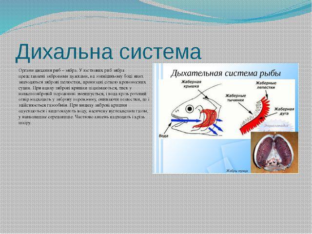 Дихальна система Органи дихання риб – зябра. У кісткових риб зябра представле...