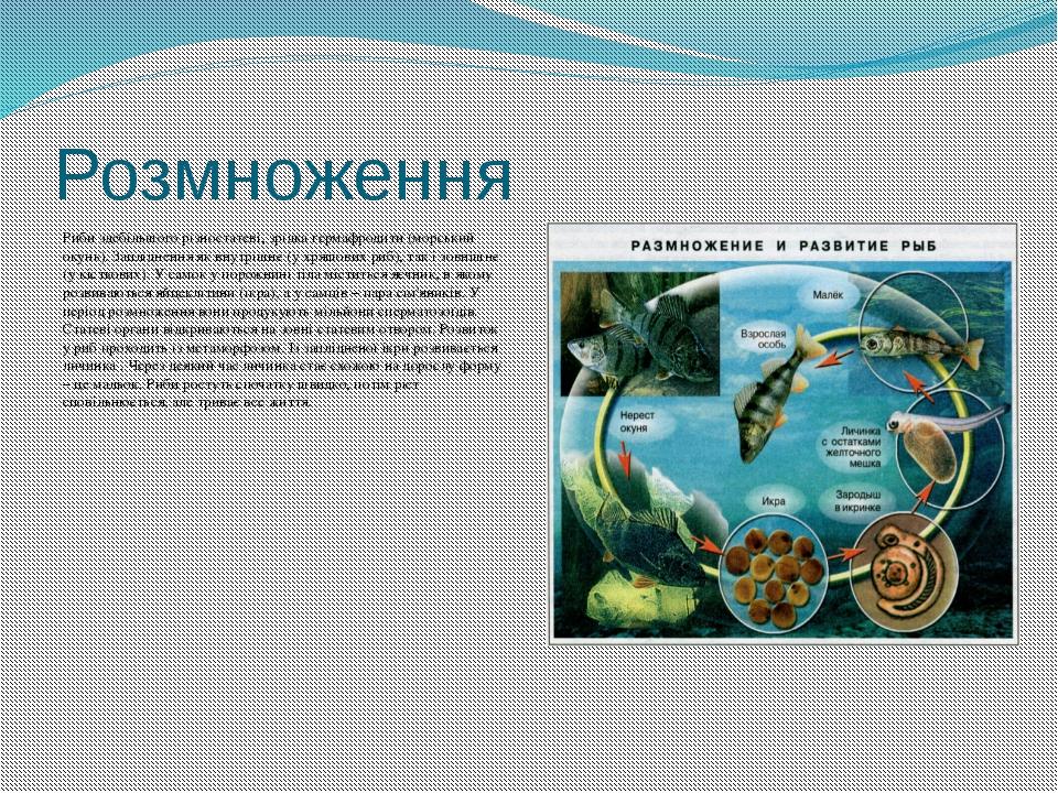 Розмноження Риби здебільшого різностатеві, зрідка гермафродити (морський окун...