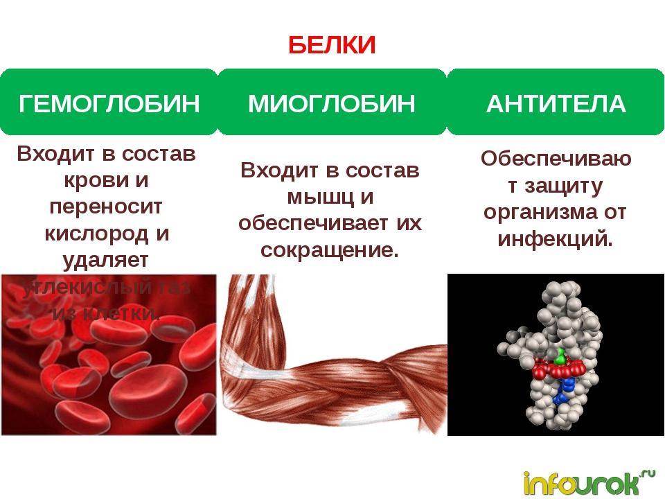 БЕЛКИ ГЕМОГЛОБИН МИОГЛОБИН АНТИТЕЛА Входит в состав крови и переносит кислоро...