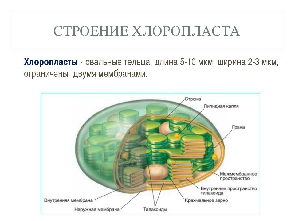СТРОЕНИЕ ХЛОРОПЛАСТА Хлоропласты - овальные тельца, длина 5-10 мкм, ширина 2-...