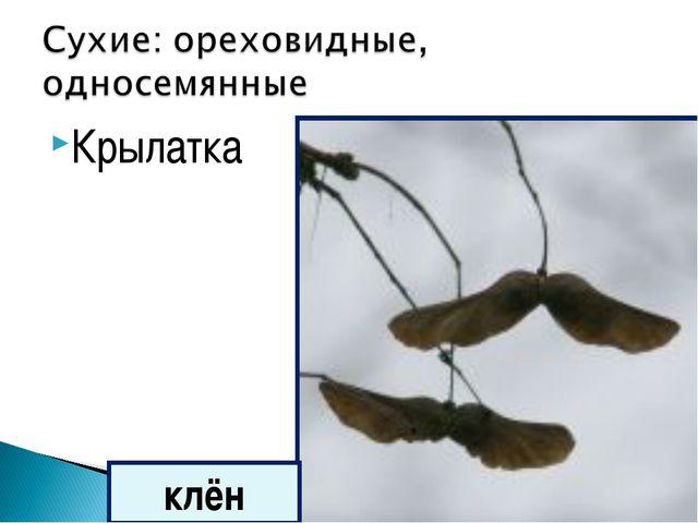 Крылатка клён