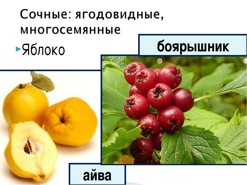 Яблоко айва боярышник