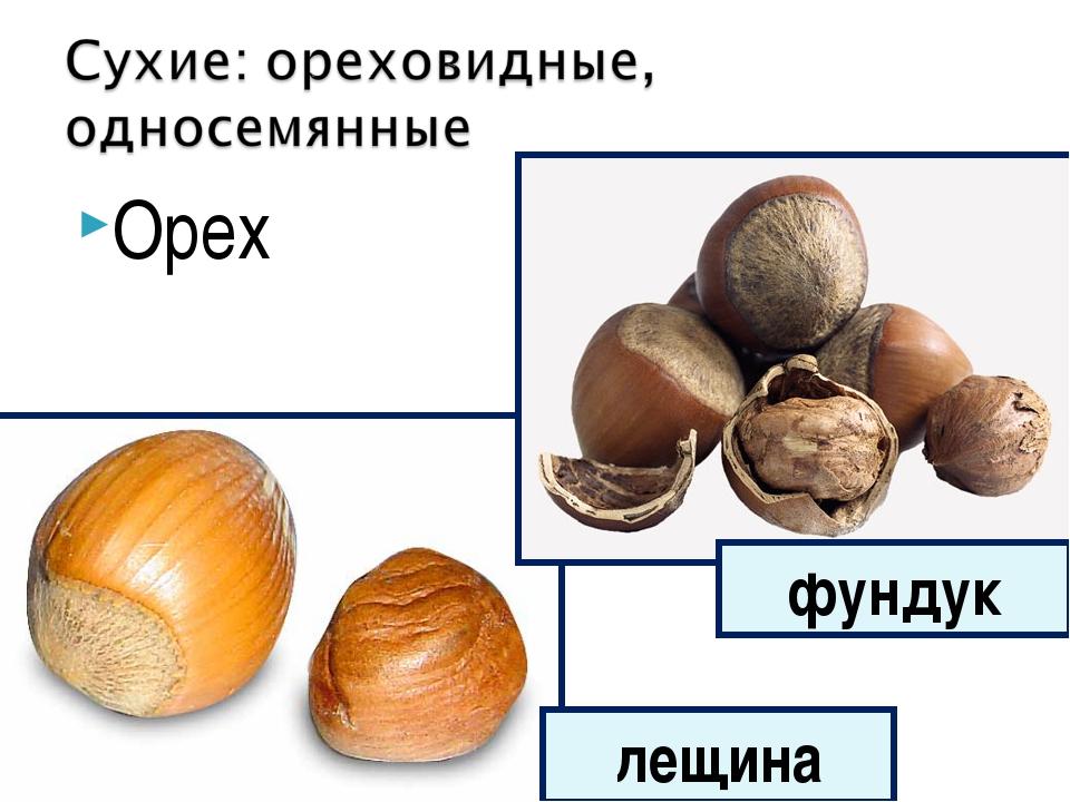 Орех лещина фундук