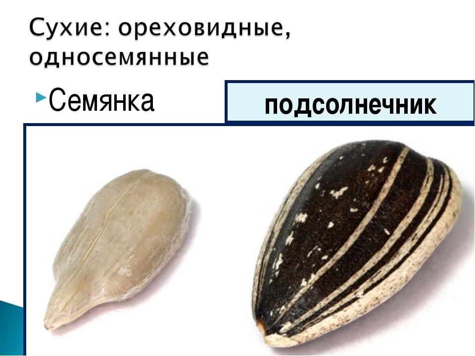 Семянка подсолнечник