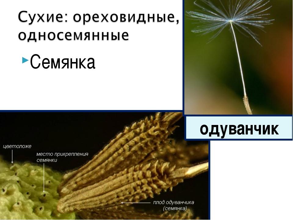 Семянка одуванчик