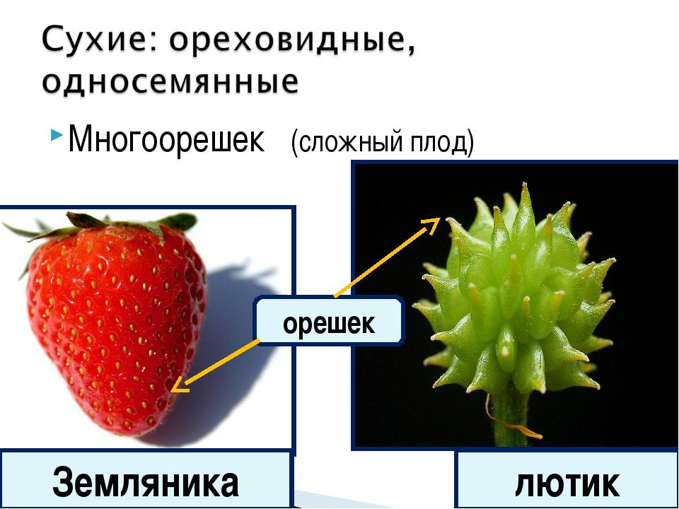 Многоорешек (сложный плод) Земляника лютик орешек