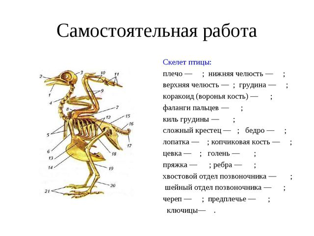 Самостоятельная работа Скелет птицы: плечо — ; нижняя челюсть — ; верхняя чел...