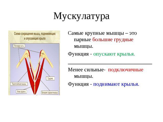 Мускулатура Самые крупные мышцы – это парные большие грудные мышцы. Функция -...