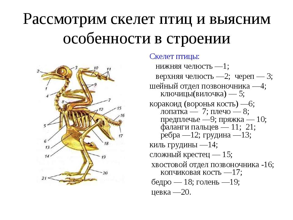 Рассмотрим скелет птиц и выясним особенности в строении Скелет птицы: нижняя...