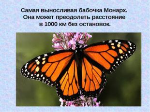 Самая выносливая бабочка Монарх. Она может преодолеть расстояние в 1000 км бе