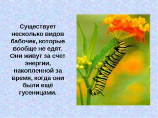 Существует несколько видов бабочек, которые вообще не едят. Они живут за счет