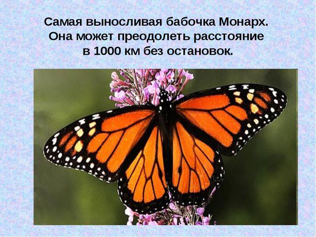 Самая выносливая бабочка Монарх. Она может преодолеть расстояние в 1000 км бе...