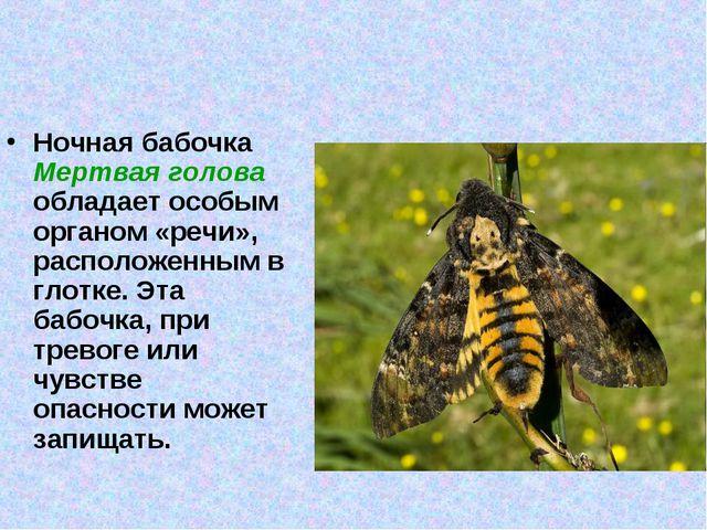Ночная бабочка Мертвая голова обладает особым органом «речи», расположенным в...