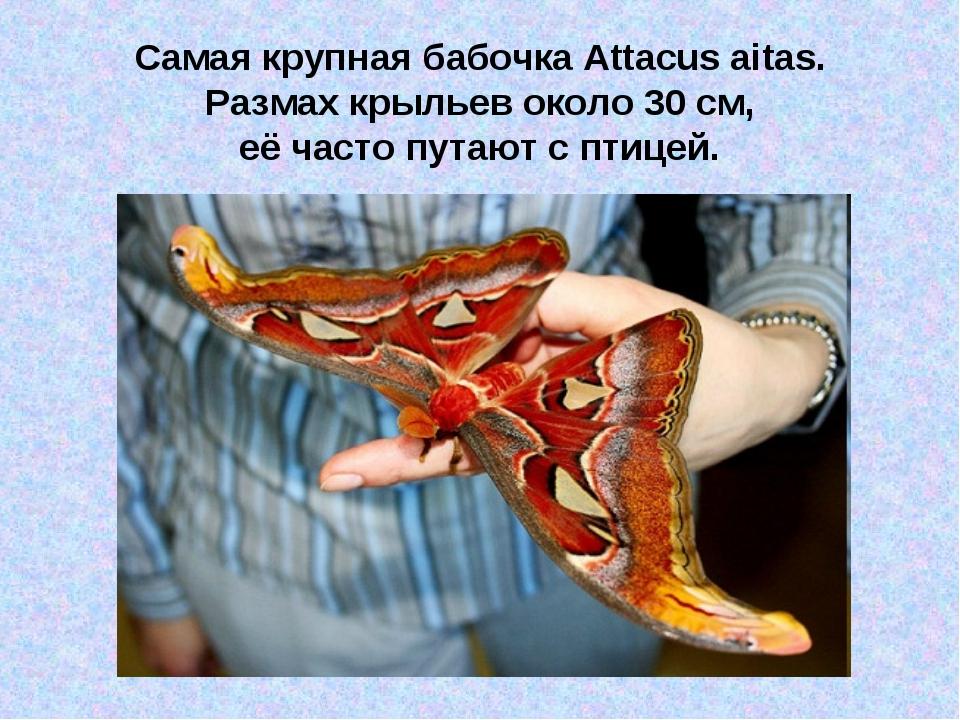Самая крупная бабочка Attacus aitas. Размах крыльев около 30 см, её часто пут...