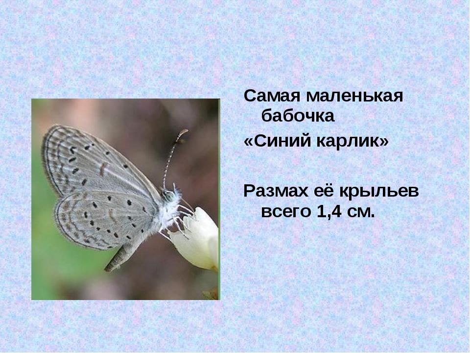Самая маленькая бабочка «Синий карлик» Размах её крыльев всего 1,4 см.