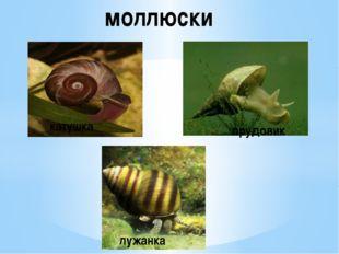 моллюски катушка прудовик лужанка