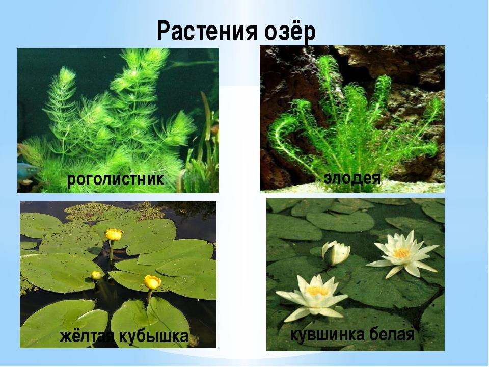 Растения озёр роголистник элодея жёлтая кубышка кувшинка белая