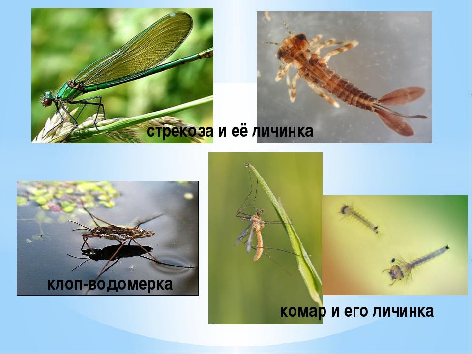 стрекоза и её личинка клоп-водомерка комар и его личинка