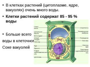 В клетках растений (цитоплазме, ядре, вакуолях) очень много воды. Клетки раст