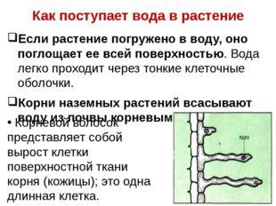 Как поступает вода в растение Если растение погружено в воду, оно поглощает е