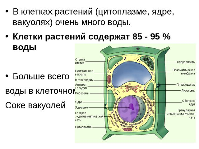 В клетках растений (цитоплазме, ядре, вакуолях) очень много воды. Клетки раст...