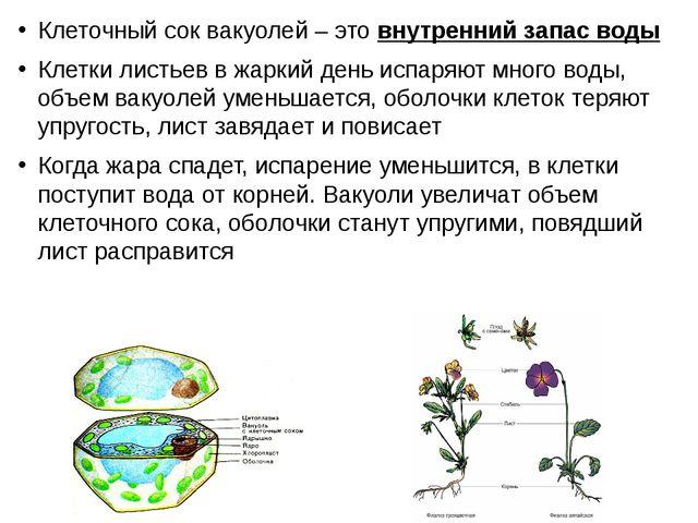 Клеточный сок вакуолей – это внутренний запас воды Клетки листьев в жаркий де...