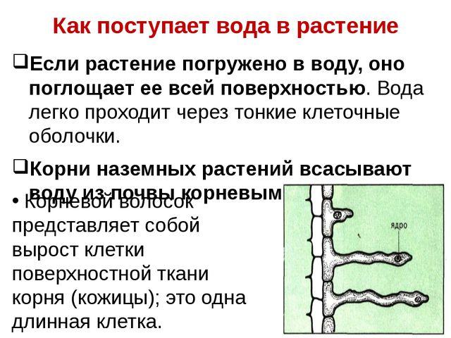 Как поступает вода в растение Если растение погружено в воду, оно поглощает е...